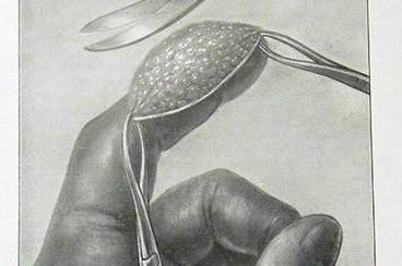 testicule singe